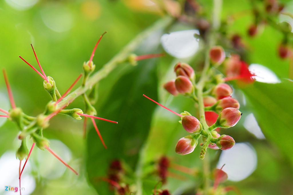 Trên cây, nhiều bông đang trổ nụ chuẩn bị nở.