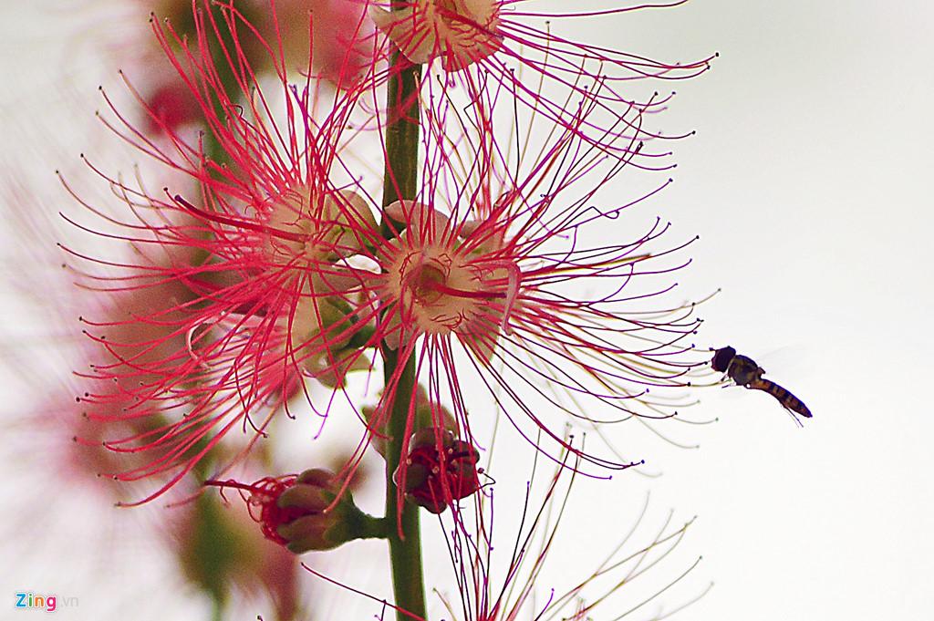 Đặc điểm của lộc vừng là khi nở kết thành những sợi dây hoa dài óng màu sắc đỏ.
