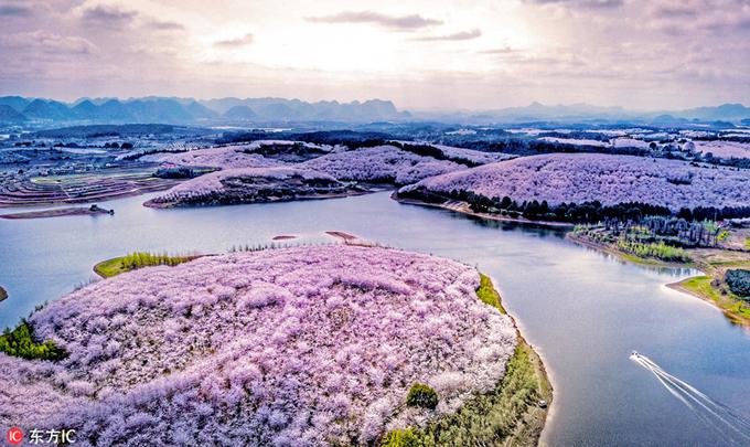 """Mùa hoa anh đào đang bước vào những ngày cuối cùng của năm nay. Nếu đã nhàm mắt với hoa anh đào ở Hàn Quốc hay Nhật Bản thì bạn hãy ghé thăm thị trấn nhỏ ở phía nam Trung Quốc với những hòn đảo hoa anh đào độc đáo hiếm nơi nào có được. Mỗi năm, thành phố Quý Dương, tỉnh Quý Châu đón một lượng lớn khách du lịch tới chiêm ngưỡng cảnh tượng """"thập lý đào hoa"""" dài vạn dặm như trong phim cổ trang."""