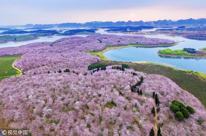 Có tới 500.000 gốc hoa anh đào ở nông trại Pingba, đồng loạt nở vào khoảng tháng 3-4 hằng năm, tùy theo tình hình thời tiết. Đây là diện tích trồng hoa do chính phủ Trung Quốc tài trợ nằm thúc đẩy ngành du lịch địa phương.