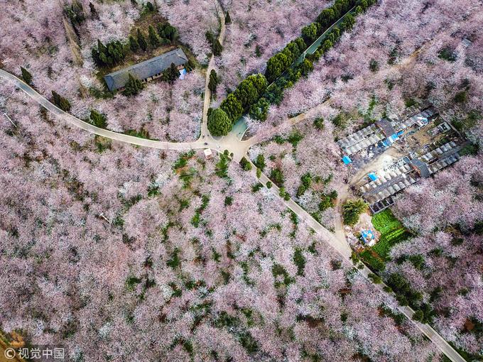 """Những con đường được xây dựng tỏa đi muôn ngả tựa như mê cung hoa đào """"không lối ra"""". Ngoài nông trại Pingba, ở Quý Dương còn có vườn Guian cũng nằm trong chương trình phát triển du lịch nhờ hoa anh đào của chính quyền địa phương."""