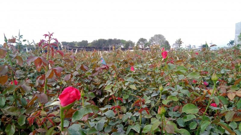 Những cánh đồng bạt ngàn hoa hồng tại làng hoa Tây Tựu là địa điểm lý tưởng để giới trẻ lưu lại những khoảng khắc đẹp.