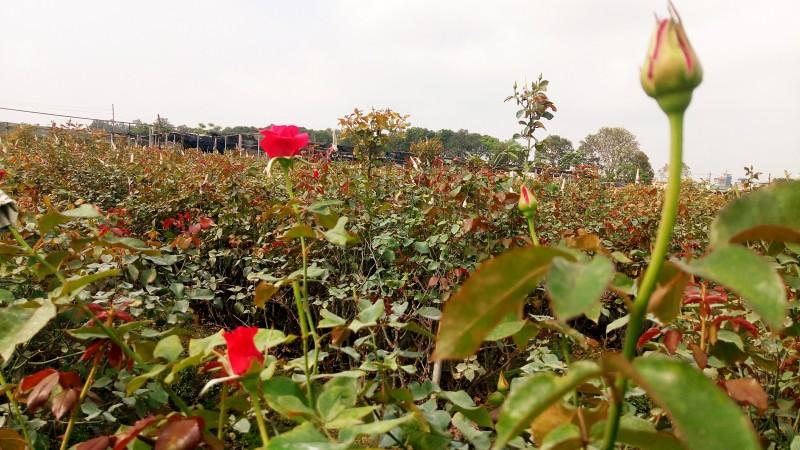 Người trồng hồng đang chăm chút từng cho từng bông hoa