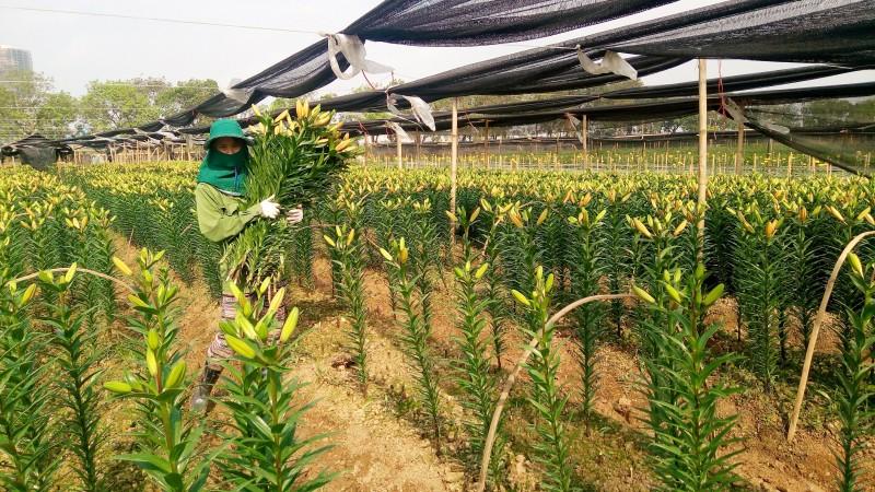 Sau khi được thu hoạch, hoa ly sẽ được phân bổ đến các chợ đầu mối trên địa bàn Hà Nội và những vùng lân cận.