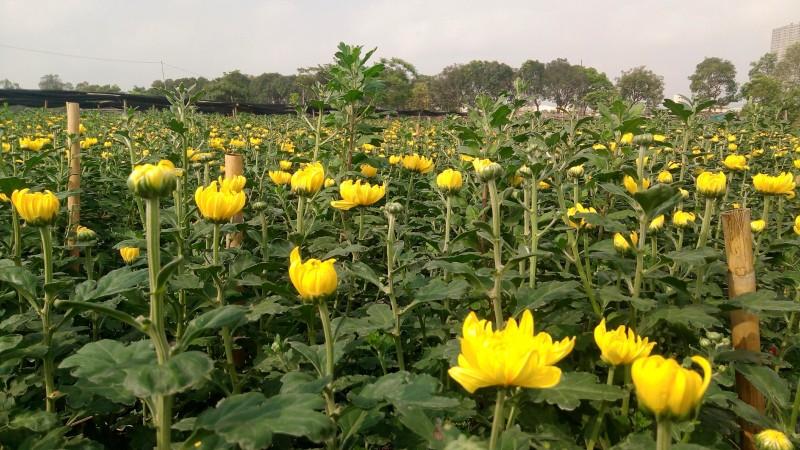 Những cánh đồng hoa cúc vàng đang nở rộ