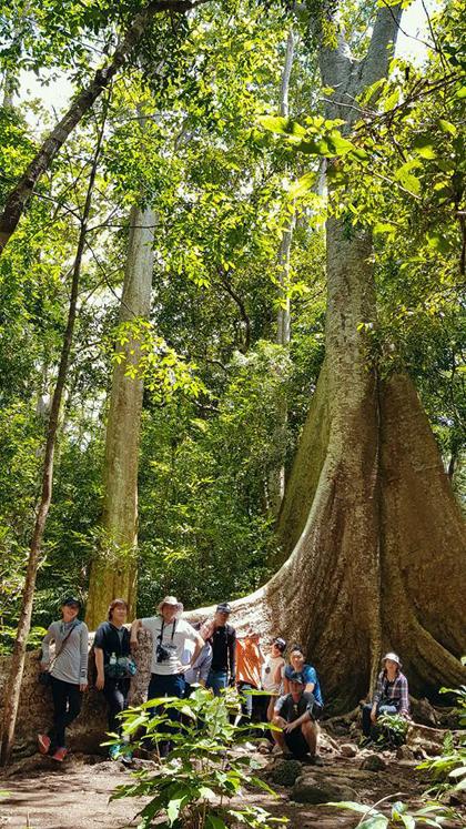 Cây đại thụ cao vút, bộ rễ to bản vươn dài, trồi lên hẳn mặt đất. Ước tính rễ bề ngang gần 1 m, dài hơn 5 m.