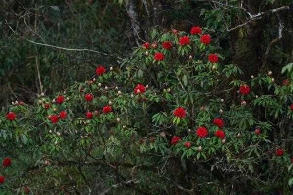 Trên con đường chinh phục Nóc nhà Đông Dương những ngày tháng tư và đến hết tháng 5, du khách sẽ có dịp ngắm nhìn những gốc đỗ quyên trăm tuổi rực rỡ sắc màu.