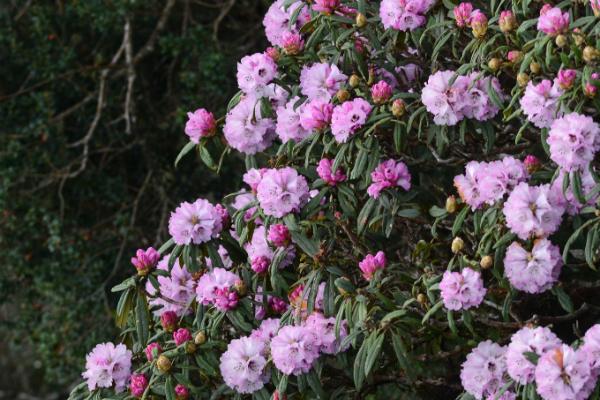"""Từ lâu, rừng Hoàng Liên đã được mệnh danh là """"Vương quốc hoa đỗ quyên"""". Bởi nơi đây có hơn 40 loài đỗ quyên với đủ màu sắc như đỏ, trắng, hồng, vàng..."""