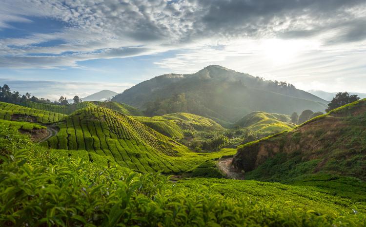 Cao nguyên Cameron, Malaysia: Nằm gần thủ đô Kuala Lumpur, khu vực đồn điền trồng trà Boh là một địa điểm du lịch yêu thích của nhiều du khách, đồng thời cũng là nơi sản xuất loại trà nổi tiếng nhất Maylaysia. Đến đây, du khách được tham quan khu đồn điền và nhà máy miễn phí. Khác với những khu vực trồng trà khác ở châu Á, nơi đây không có những người hái trà vì lá trà ở đây được thu hoạch bằng máy móc thay vì được hái bằng tay. Ảnh: Getty.