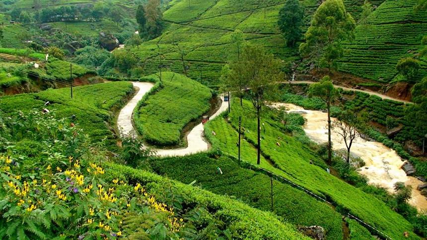"""Nuwara Eliya, Sri Lanka: Nuwara Eliya được biết đến như là một """"nước Anh thu nhỏ"""" với cảnh quan hấp dẫn của những đồn điền trồng trà, trong đó, nổi tiếng nhất là Pedro Estate, nằm gần trung tâm của Sri Lanka. Trà Ceylon ở đây có màu vàng và là mặt hàng xuất khẩu quan trọng nhất của Sri Lanka. Ảnh: Corporatemaldives."""