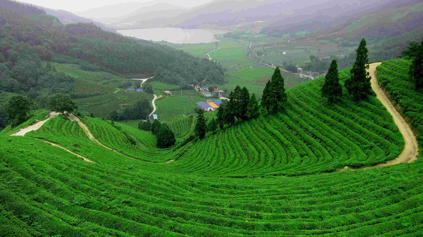 Hàng Châu, Trung Quốc: Trà Long Tỉnh nổi tiếng được trồng chủ yếu ở Hàng Châu gần Tây Hồ. Với lịch sử hơn 1.200 năm tuổi, Long Tỉnh là một trong những loại trà phổ biến nhất Trung Quốc. Thời gian lý tưởng nhất để ghé thăm nơi đây là vào đầu mùa xuân khi chất lượng trà tốt nhất và thời tiết dễ chịu. Ảnh: Cattanblog.