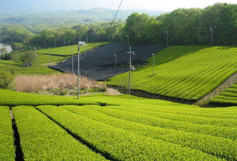Uji, Nhật Bản: Mặc dù không phải là một đồn điền lớn, nhưng Uji, gần Kyoto, là một trong những địa phương sản xuất trà lâu đời nhất ở Nhật Bản. Giống như Trung Quốc, trà xanh cũng là loại trà nổi tiếng nhất ở đây. Bên cạnh đó, Uji còn là nơi sản xuất matcha, bột trà xanh nổi tiếng của Nhật Bản. Bên cạnh việc chiêm ngưỡng cảnh quan, du khách đến đây còn có thể tham gia các lớp làm matcha hay uống trà với nghi thức trà đạo độc đáo. Ảnh: Trip-n-travel.