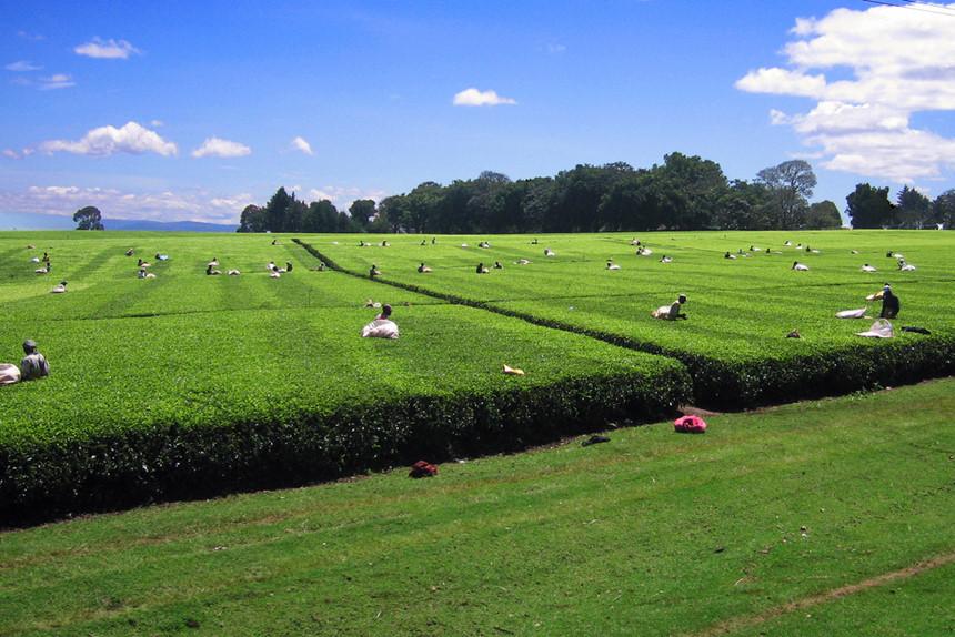 Kericho, Kenya: Kenya có nhiều loại trà với màu sắc khác nhau như trà đen, xanh lá, vàng hay thậm chí là màu trắng được trồng trên khắp đất nước. Nằm ở vùng cao nguyên ẩm ướt của thung lũng Rift, Kericho là một trong khu trồng trà nổi tiếng nhất của Kenya. Ảnh: Pinterest. 5 tác dụng phụ không ngờ của trà xanh Trà xanh có nhiều công dụng cho sức khỏe, tuy nhiên, không phải ai cũng có thể uống loại trà này.