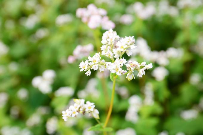 Hoa tam giác thường nở rộ trong khoảng một tháng. Ban đầu, hoa nở có màu trắng rồi dần chuyển sang phớt hồng. Từ một loài cây trồng lấy hạt, tam giác mạch được nhân giống phục vụ du lịch.