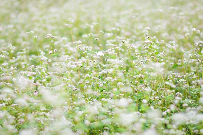 Mùa hoa tam giác mạch thường từ tháng 10 đến tháng 12 hàng năm và đẹp nhất là mọc ở Hà Giang. Khi trồng ở các vùng khác, hoa thường có màu trắng phớt hồng chứ không được hồng đậm như ở Tây Bắc.