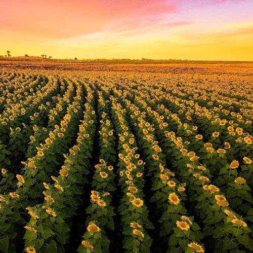 Cambooya, Sunflower Route  Những tín đồ Instagram có thể thử trải nghiệm một ngày thực địa khi đến nghỉ hè tại Cambooya miền Nam Queensland. Một thảm hoa hướng dương vàng rực tựa như tranh vẽ nằm dọc khắp khu vực Cambooya, Nobby hay Felton của Sunflower Route. Thậm chí việc du khách thường xuyên đi lạc vào các khu đất, mải mê chụp ảnh đã khiến chủ các trang trại phải cắm biển cảnh báo.  Ảnh: Escape