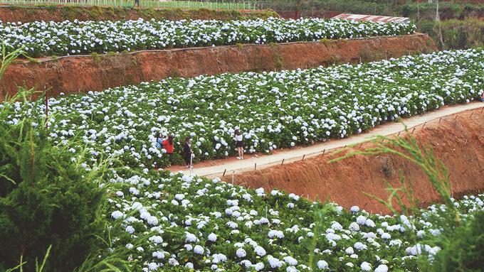Cả nhóm còn ghé qua vườn hoa cẩm tú cầu ở Trại Mát. Những bông hoa lớn, nở rộ tạo khung cảnh đẹp mắt.