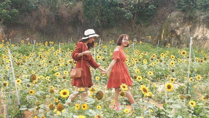 """Cũng nằm ở khu Trại Mát, gần vườn cẩm tú cầu còn có một mảnh đất nhỏ trồng hoa hướng dương. """"Hoa ở đây không cao, đang nở rộ, đủ trở thành điểm chụp ảnh đẹp"""", Kiều Nhi nói."""