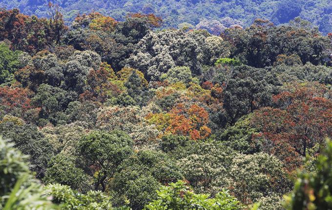 """Sơn Trà - bán đảo độc nhất vô nhị Việt Nam đang vào mùa """"thay áo"""", với hàng nghìn loài cây trổ lộc non đủ màu xanh, vàng, đỏ cả một góc rừng."""