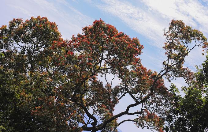 Lộc non của một cây cổ thu nhìn từ xa như những bông hoa màu đỏ. Bán đảo Sơn Trà (phường Thọ Quang, quận Sơn Trà) nằm cách trung tâm thành phố Đà Nẵng khoảng 10 km về phía đông bắc. Nơi đây có diện tích hơn 4.400 ha, dài 13 km với chu vi khoảng 60 km, độ cao trung bình 350 m, cao nhất là đỉnh Ốc gần 700 m.
