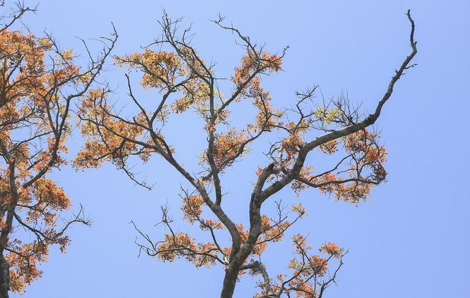 Với ba mặt giáp biển, mặt còn lại giáp đô thị, Sơn Trà là tổng hòa của hệ sinh thái rừng tự nhiên gắn liền biển duy nhất ở Việt Nam. Men theo những cung đường lên Sơn Trà mùa này, rất dễ dàng được nhìn ngắm những cây trổ lộc non.