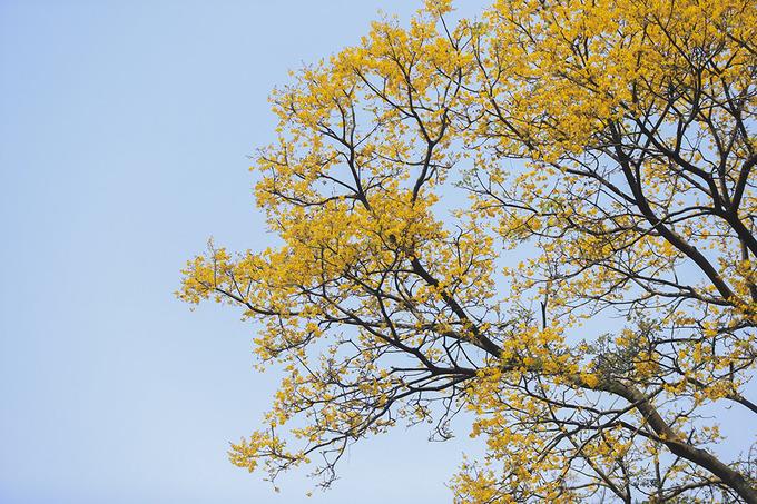 Một cây lim xẹt nở hoa vàng rực một góc bán đảo Sơn Trà. Những cây lim xẹt cao trên 10 mét tập trung ở khu vực gần mũi Tiên Sa. Men theo con đường bê tông từ đường Yết Kiêu (đoạn gần cảng Tiên Sa) vào chừng 2 km là bắt gặp quần thể lim xẹt.