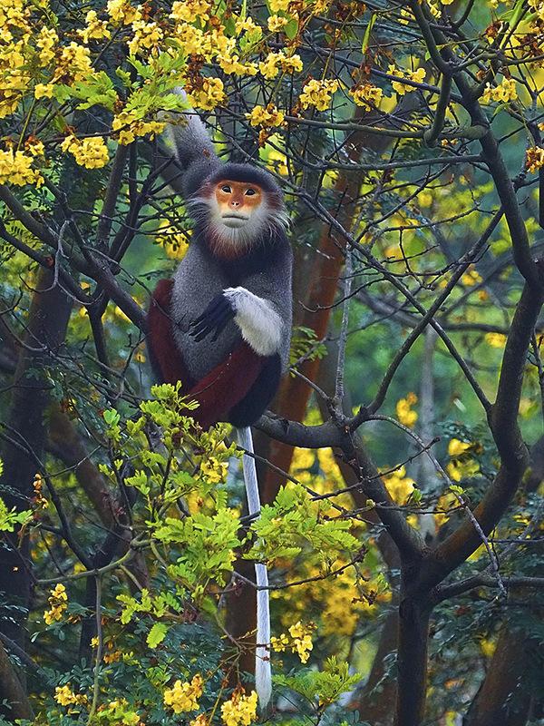 Voọc chà vá chân nâu tìm lộc non làm thức ăn trên cây lim xẹt. Theo Tổ chức Bảo tồn thiên nhiên quốc tế (IUCN), voọc chân nâu đang đối diện với nguy cơ tuyệt chủng cao, đứng thứ hai trong danh lục đỏ của IUCN về các loài bị đe dọa. Ảnh: Lê Phước Chín.