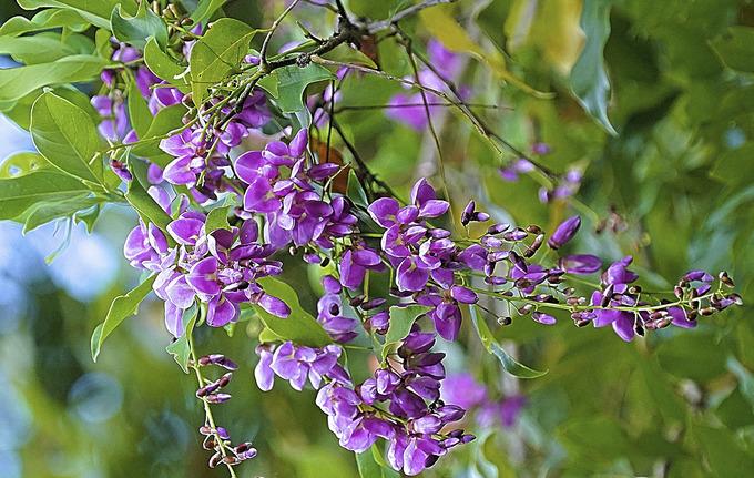 Hoa thàn mát khoe sắc trên Sơn Trà. Vào mùa cây ra hoa, voọc chà vá chân nâu cũng thường lui đến kiếm thức ăn. Ảnh: Lê Phước Chín.