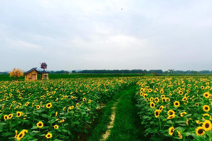 Hoa nở trên diện rộng tạo background chụp ảnh đẹp mắt.