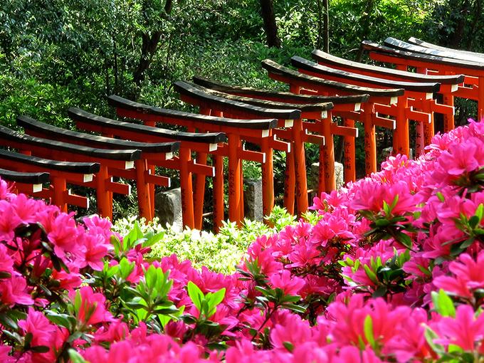 Từ giữa tháng 4 đến giữa tháng 5, khắp Nhật Bản tràn ngập những sắc màu rực rỡ của hoa đỗ quyên. Nếu ở Tokyo du khách muốn đi ngắm hoa sẽ không thể bỏ qua các địa điểm như đền Nezu, công viên bách thảo Jindai, đền Shiofune Kannon-Ji, công viên Showa Kinen, vườn Rikugi-en... Ảnh: jonellepatrick.