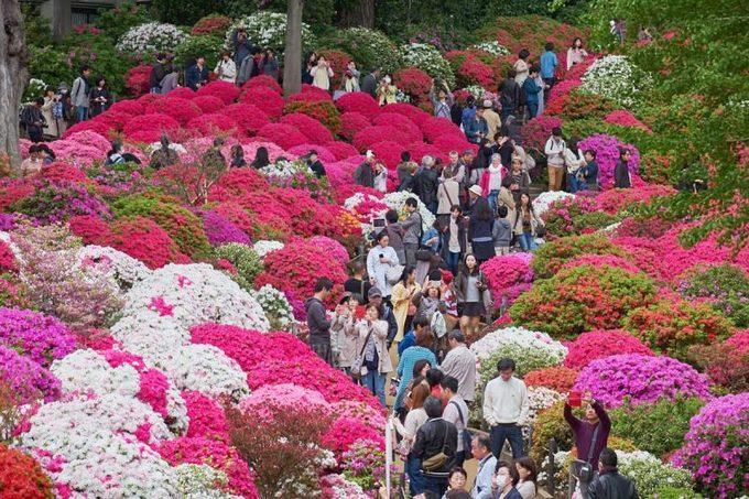 Đền Nezu là một trong những nơi tổ chức lễ hội hoa đỗ quyên lớn nhất ở Tokyo. Du khách có thể tham gia tiệc trà ngoài trời và tận hưởng không khí dịu mát, thưởng thức buổi biểu diễn âm nhạc truyền thống và nhiều sự kiện hấp dẫn khác. Lễ hội diễn ra từ 9h đến 17h30 mỗi ngày kéo dài tới ngày 6/5. Ảnh: japanistry.