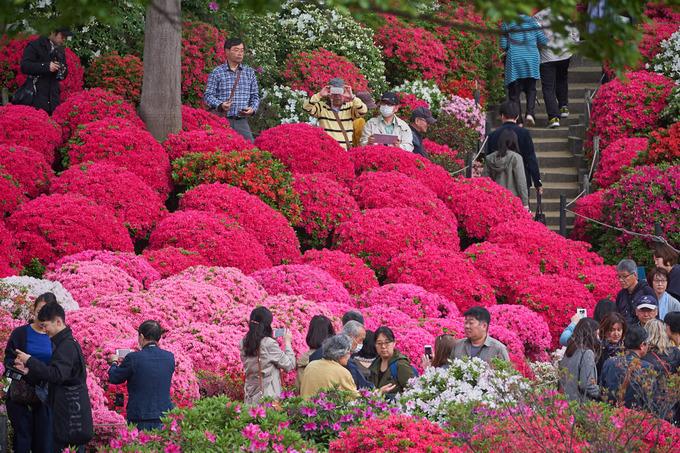 Năm ngoái, đền Nezu mất mùa hoa đỗ quyên vì mưa bão nhưng năm nay hoa đã rộ nở trở lại thu hút đông đảo người dân và du khách tới tham quan. Tại khu đền này có trồng khoảng 3.000 cây thuộc 100 loại hoa đỗ quyên khác nhau. Ảnh: japanistry.