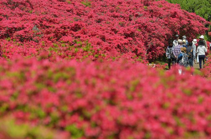 Biển hoa đỗ quyên đỏ rực ở công viên Komuroyama, tại Ito, tỉnh Shizuoka. Công viên này rộng 35.000 m2, hiện trồng tổng cộng 40 loại hoa đỗ quyên khác nhau. Hoa đỗ quyên ở Shizuoka năm nay nở sớm hơn thường lệ, lễ hội loài hoa này (Tsutsuji Festival) vẫn tổ chức vào dịp cuối tháng 4 đến hết 5/5 với kỳ vọng thu hút nhiều du khách. Ảnh: Mainichi.