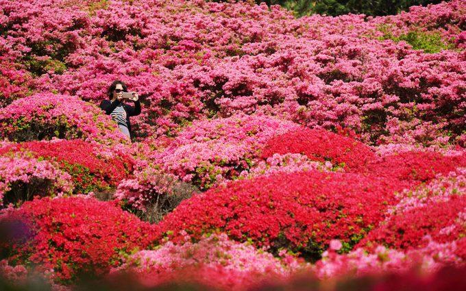 Một nữ du khách chụp hình giữa rừng hoa đỗ quyên nở bạt ngàn ở công viên Nagushiyama, tại Sasebo, tỉnh Nagasaki, tây nam Nhật Bản. Ở công viên này có tới 100.000 cây đỗ quyên nở rộ vào tháng 4 năm nay. Ảnh: AP.