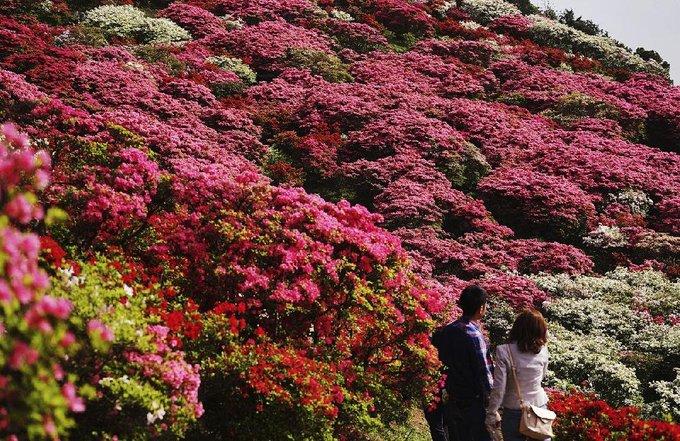 Hoa đỗ quyên có rất nhiều màu như hồng, trắng, đỏ, cam, tím. Có loài đỗ quyên mọc thành bụi, lùm cây nhỏ, có loại lại cao quá đầu người. Ảnh: AP.
