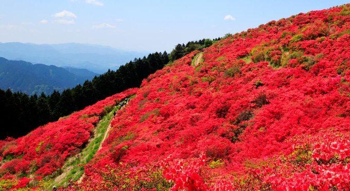Núi Katsuragi nằm giữa Osaka và Nara ở vùng Kansai, phía tây Nhật Bản. Tại đây vào tháng 5 hàng năm, hoa đỗ quyên sẽ nở rộ nhuộm đỏ các triền núi thu hút rất đông du khách tham quan. Thời điểm đông khách nhất là 10h đến 14h không chỉ cuối tuần mà cả các ngày trong tuần. Ảnh: Jnto.