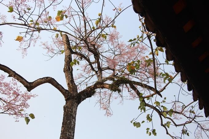 Hoa ngô đồng nở từ cuối tháng hai đến tháng năm âm lịch. Với màu tím nhạt, hoa ngô đồng đã tạo thêm nét thanh tao cho Hoàng cung Huế.