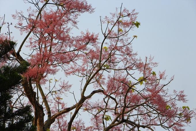 """Các bông hoa ngô đồng nhỏ nhưng kết hợp lại với nhau như """"phượng múa rồng bay"""" trông rất đẹp mắt. Hoa ngô đồng nở đẹp nhất là cuối tháng 4 đầu tháng 5 khi lá của cây rụng hết."""