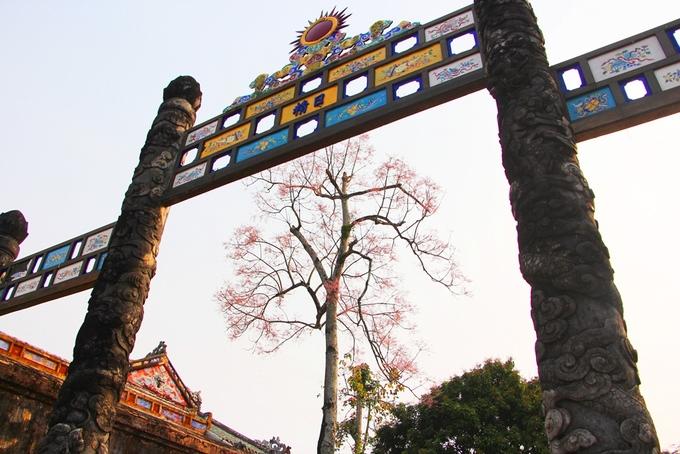 Xưa kia cây ngô đồng chỉ trồng ở khu vực điện Thái Hòa, trước mặt điện Cần Chánh và những nơi quan trọng của Hoàng cung Huế. Là cây thân gỗ nhưng cây ngô đồng lại có màu hoa tím khác biệt nổi trội khi đứng cạnh với các loài cây khác.  Nhiều du khách lần đầu đến Huế và tham quan Hoàng cung rất ngạc nhiên, thích thú trước vẻ đẹp kiêu sa của loài hoa này.  Trong 162 họa tiết được khắc nổi trên bộ Cửu Đỉnh đặt trước Thế Miếu, ngô đồng là một trong những loài hoa được vua Minh Mạng chọn khắc trên Nhân Đỉnh, chiếc đỉnh ứng với vua Minh Mạng.