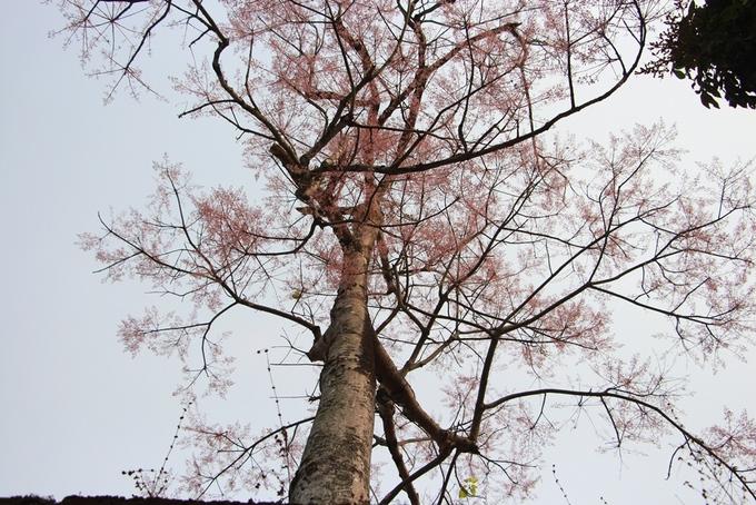 Một cây ngô đồng vươn cao khoe sắc hứng ánh mặt trời.
