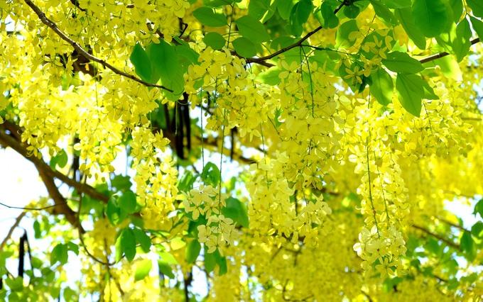 Tháng 5 đến Hội An ấn tượng đầu tiên chính là những hàng cây muồng hoàng yến (tên khác là hoa lồng đèn, bọ cạp vàng, osaka) nở vàng rực. Phố Hội vốn đã nổi tiếng với những dãy nhà mái ngói, quét vôi màu vàng nghệ bao đời nay, đến mùa hè lại càng tươi sáng hơn với sắc vàng của loài hoa này.