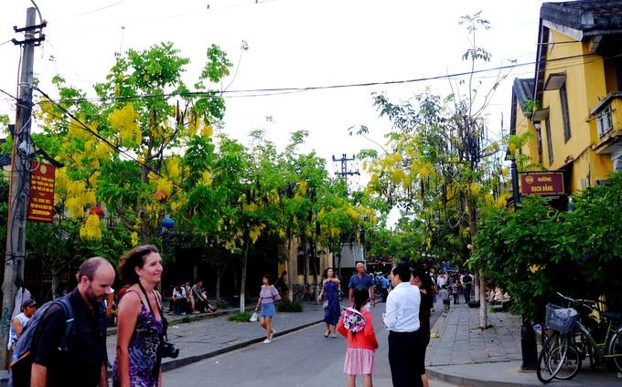 Xuống chuyến xe buýt chở khách từ Đà Nẵng tới Hội An, đi bộ len lỏi qua những con ngõ lớn nhỏ ở phố cổ bạn sẽ không thể rời mắt bởi những hàng cây muồng hoàng yến.