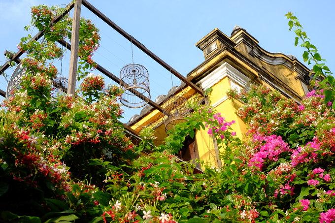 Hoa giun hay còn gọi là sử quân tử có màu đỏ hồng và trắng cũng đang vào mùa nở rộ. Loài hoa này cũng được trồng thành giàn trước các ngôi nhà cổ, hàng quán ở Hội An.