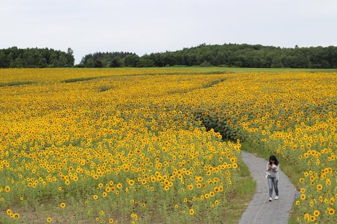 Đồng hoa hướng dương Hokuryu nằm ở phía tây nam thành phố Asahikawa, giáp ranh với Higashikawa, trải rộng 23,1 ha trên ngọn đồi gần trạm xe buýt Sunflower Hokuryu, được trồng từ năm 1979. Mỗi năm, số lượng hoa ở đây tăng dần lên, đến nay có khoảng 1,5 triệu bông, nở rộ và đẹp nhất vào đầu tháng 8 khiến du khách choáng ngợp.
