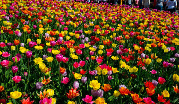 vuon-hoa-tulip-dep-nhu-tranh-ve-o-ha-lan-ivivu-1