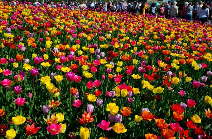 Năm nay, lễ hội hoa nổi tiếng của Hà Lan, De Keukenhof, diễn ra từ cuối tháng 3 tới hết ngày 13/5. Khuôn viên công viên Keukenhof rộng tới 32 ha hiện trồng 7 triệu cây tulip, thủy tiên vàng, lan dạ hương, anh thảo... Đây là một điểm du lịch hấp dẫn bậc nhất Hà Lan thu hút tới 1 triệu lượt khách từ khắp nơi trên thế giới mỗi năm.