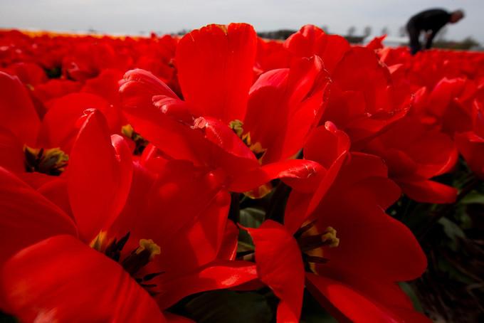 Thời gian thích hợp nhất để tham quan Keukenhof là giữa tháng 4 đến đầu tháng 5, cũng là mùa hoa tulip nở rộ nhất. Khu vườn hoa khổng lồ này vắng lặng hơn vào sáng sớm hoặc chiều muộn, khoảng thời gian buổi trưa thường đông đúc hơn.