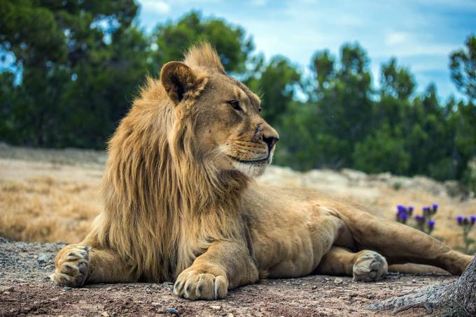 Vườn quốc gia Niokolo-Koba cũng là nơi lý tưởng nhất để du khách ngắm nhìn những con sư tử - biểu tượng quốc gia của Senegal. Thực tế, sư tử Senegal gần như biến mất toàn bộ khỏi quốc gia Tây Phi này, nhiều nỗ lực bảo tồn đang được thực hiện nhằm gia tăng số lượng. Ảnh: Paulin Guilmot.