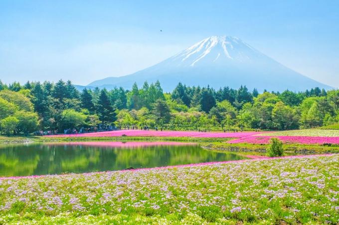 Lễ hội hoa Fuji Shibazakura  Nếu bạn đến Nhật Bản vào tháng 5 thì đừng quên tham gia lễ hội hoa chi anh dưới chân núi Phú Sĩ đầy ấn tượng. Khung cảnh trải ra trước mắt bạn đẹp tựa như một bức tranh, với thảm hoa màu hồng tím rực rỡ dưới nắng vàng, nền trời xanh. Do khoảng cách khá gần nên từ đây, bạn có thể ngắm ngọn núi một cách rõ ràng hơn. Lễ hội được tổ chức từ giữa tháng 4 đến cuối tháng 5 hàng năm và đã tổ chức được 10 lần.