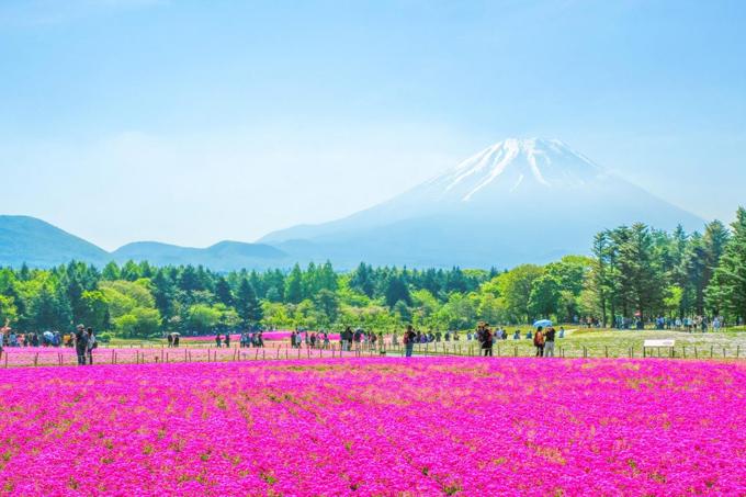 Địa điểm của lễ hội thường là gần hồ Motosu, một trong ngũ hồ của núi Phú Sĩ thuộc tỉnh Yamanashi. Với diện tích 2,4 ha, cả lễ hội được bao phủ trong sắc hồng rực rỡ của 800.000 cây hoa chi anh thuộc 7 chủng loại hoa khác nhau, chuyển màu từ hồng tím, hồng đậm, hồng nhạt và trắng. Bạn đi từ Tokyo, xuống ở ga Kawaguchiko, rồi bắt xe buýt Shibazakura Line đến khu tổ chức lễ hội hoa, đi khoảng 30 phút, hoạt động suốt mùa lễ hội. Chi phí cho cả lượt đi lẫn lượt về và phí vào cổng là 1.900 yên. Tuy nhiên, nếu không phải mùa lễ hội thì nơi này không phù hợp, bạn có thể chuyển qua địa điểm khác.